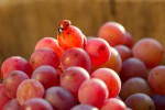 ladybird and grapes