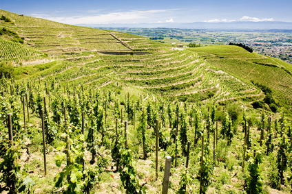 grand cru vineyard, L´Hermitage, Rhône-Alpes, France
