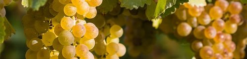 Vocabulaire de vinification blanc